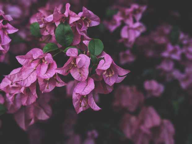 photo of purple bougainvillea flowers